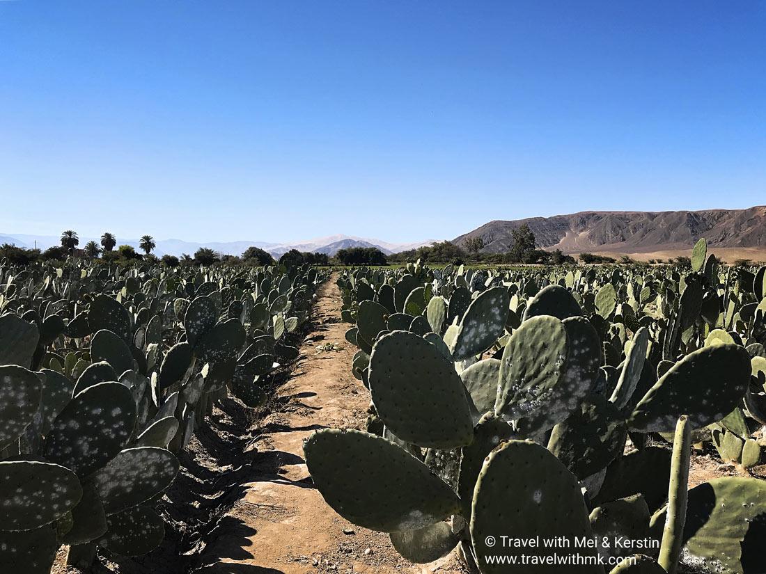 Prickles and pigments… in Nazca, Peru